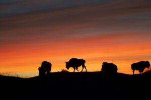 bison-1326980_960_720